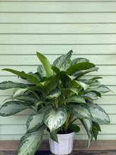 Load image into Gallery viewer, Chinese Evergreen - Silver Bay - Mickey Hargitay Plants