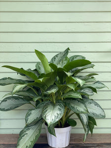 Chinese Evergreen - Silver Bay - Mickey Hargitay Plants