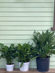 Chinese Evergreen - Maria