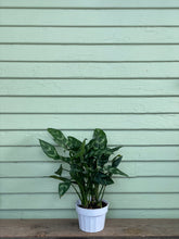 Load image into Gallery viewer, Chinese Evergreen - Maria - Mickey Hargitay Plants