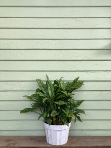 Chinese Evergreen - Maria - Mickey Hargitay Plants