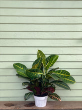 Load image into Gallery viewer, Croton Petra - Mickey Hargitay Plants