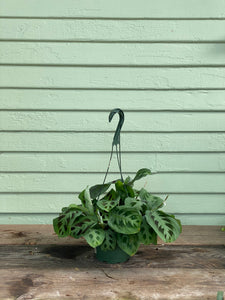 Maranta Green Prayer Plant - Mickey Hargitay Plants