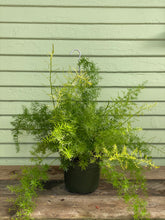 Load image into Gallery viewer, Fern - Asparagus Sprengeri - Mickey Hargitay Plants