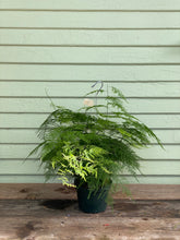 Load image into Gallery viewer, Fern - Asparagus Plumosa - Mickey Hargitay Plants