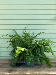 Fern - Macho - Mickey Hargitay Plants