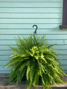 Fern - Boston - Mickey Hargitay Plants