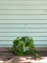 Load image into Gallery viewer, Sweetheart Philodendron - Cordatum - Mickey Hargitay Plants