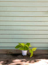 Load image into Gallery viewer, Philodendron Neon Cordatum - Mickey Hargitay Plants