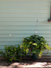 Load image into Gallery viewer, Philodendron Brasil - Mickey Hargitay Plants