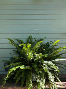 Fern - Kimberly Queen - Mickey Hargitay Plants