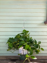 Load image into Gallery viewer, Green Queen Pothos