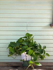 Green Queen Pothos
