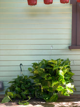Load image into Gallery viewer, Golden Pothos - Mickey Hargitay Plants