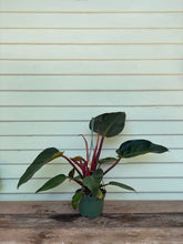 Load image into Gallery viewer, Philodendron Congo - Rojo - Mickey Hargitay Plants