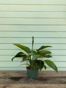 Philodendron Congo - Green - Mickey Hargitay Plants