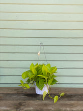 Load image into Gallery viewer, Neon Pothos - Mickey Hargitay Plants