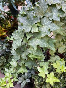 California Ivy - Mickey Hargitay Plants