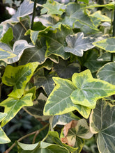 Load image into Gallery viewer, English Ivy - Goldchild - Mickey Hargitay Plants