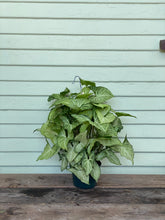 Load image into Gallery viewer, Syngonium - White Butterfly - Mickey Hargitay Plants
