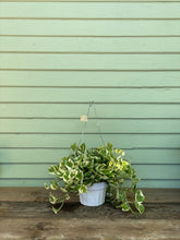Load image into Gallery viewer, N'joy Pothos - Mickey Hargitay Plants