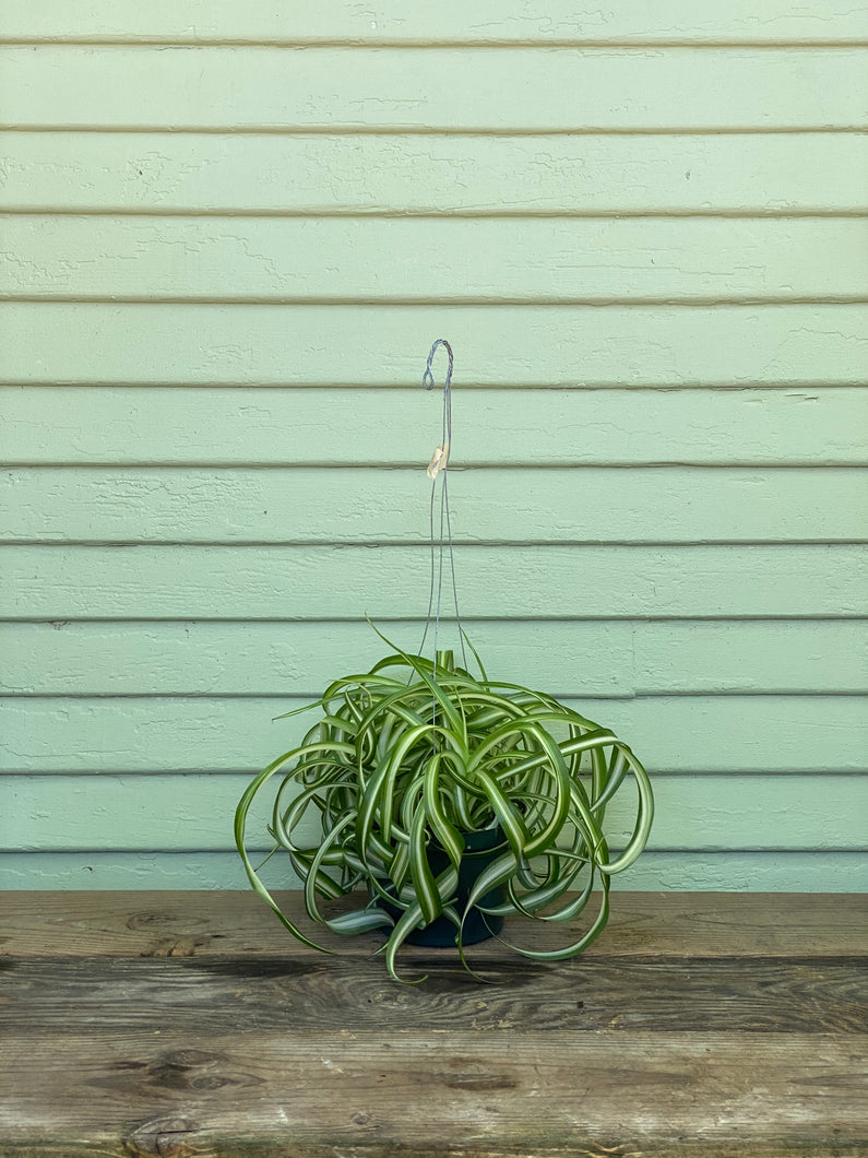 Curly Spider Plant - Bonnie