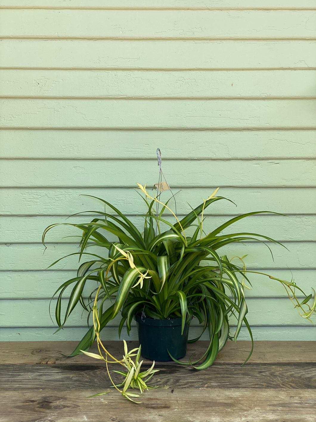 Hawaiian Spider Plant - Mickey Hargitay Plants