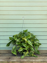 Load image into Gallery viewer, Marble Queen Pothos - Mickey Hargitay Plants