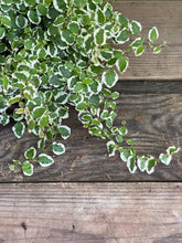 Load image into Gallery viewer, Creeping Fig - Variegated - Mickey Hargitay Plants