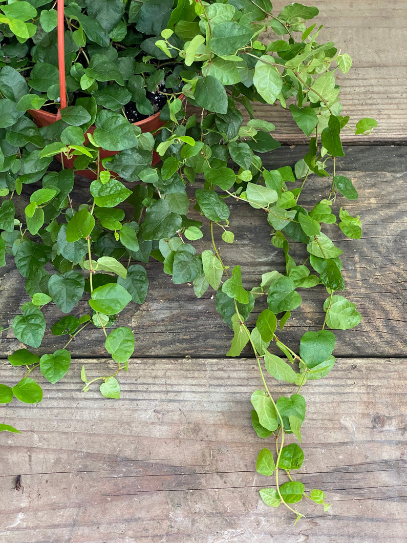 Creeping Fig - Green - Mickey Hargitay Plants
