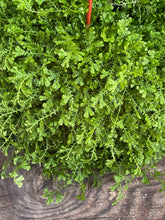 Load image into Gallery viewer, Selaginella kraussiana - Mickey Hargitay Plants