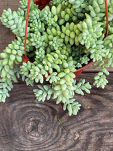 Load image into Gallery viewer, Donkey's Tail Succulent
