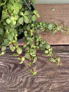 Trailing Elephant Bush - Mickey Hargitay Plants