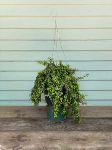 Trailing Elephant Bush