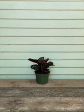 Load image into Gallery viewer, Calathea Roseopicta - Mickey Hargitay Plants