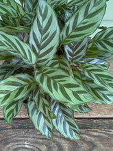 Load image into Gallery viewer, Calathea Freddie