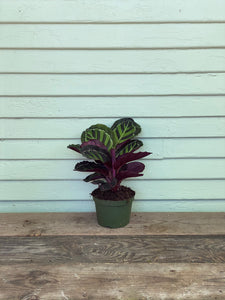 Calathea Jungle Cat