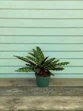Load image into Gallery viewer, Calathea Rattlesnake - Mickey Hargitay Plants