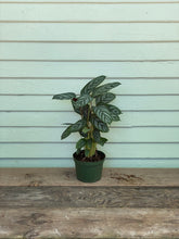 Load image into Gallery viewer, Calathea Setosa - Mickey Hargitay Plants