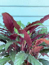 Load image into Gallery viewer, Calathea Velvet - Mickey Hargitay Plants