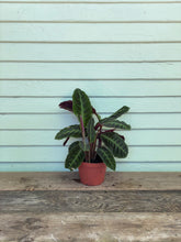 Load image into Gallery viewer, Calathea Warscewiczii - Mickey Hargitay Plants