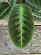 Load image into Gallery viewer, Calathea Warscewiczii