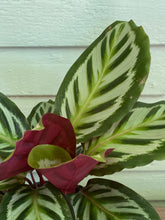 Load image into Gallery viewer, Calathea Peacock Plant - Mickey Hargitay Plants