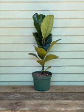 Load image into Gallery viewer, Fiddle Leaf Fig - Column - Mickey Hargitay Plants