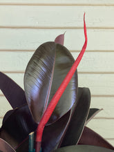 Load image into Gallery viewer, Ficus elastica - Burgundy - Mickey Hargitay Plants