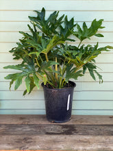 Load image into Gallery viewer, Philodendron selloum - Mickey Hargitay Plants