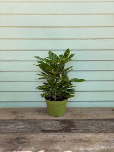 Croton Gold Dust - Mickey Hargitay Plants