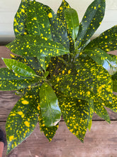 Load image into Gallery viewer, Croton Gold Dust - Mickey Hargitay Plants