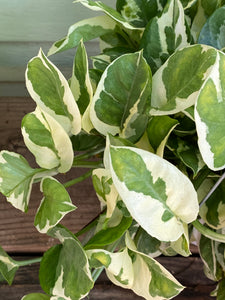 N'joy Pothos - Mickey Hargitay Plants