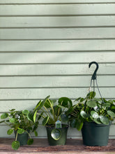 Load image into Gallery viewer, Pilea peperomioides - Mickey Hargitay Plants